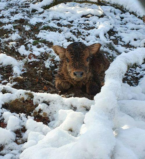 Das Auerochsenmädchen wurde am Ostersonntag im Wildpark geboren. Bald bekommt es mitsamt seiner Familie ein neues Zuhause.Wildpark