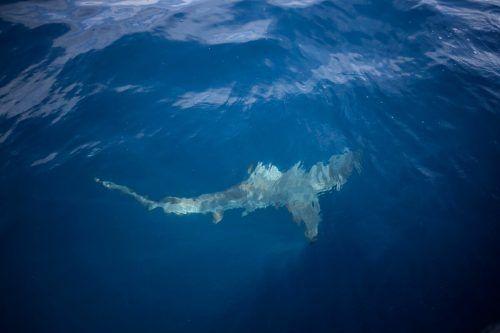 Das Mittelmeer ist für Haie und Rochen ein unsicherer Lebensraum geworden. AFP