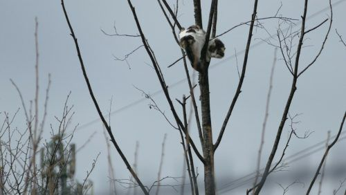 Die Katze saß kurzzeitig auf einen Baum fest. FW Wolfurt