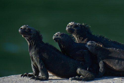 Diese Gruppe Meerechsen sonnt sich in Puerto Aroya auf der Insel Santa Cruz, die Teil des ecuadorianischen Nationalparks Galápagos ist. AFP