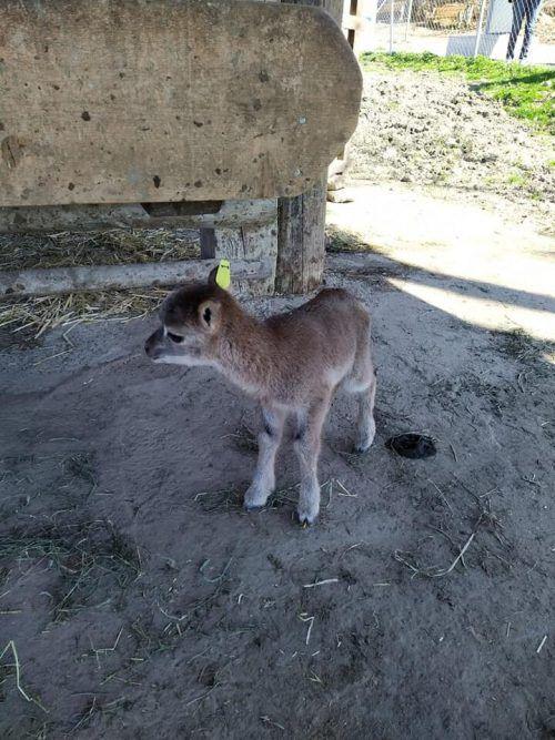 Dieses Lamm kam an Ostern zur Welt.