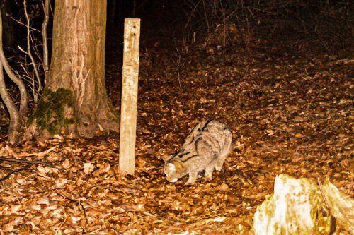 Fotofallenbilder aus dem Nationalpark beweisen das Wildkatzen-Vorkommen.APA