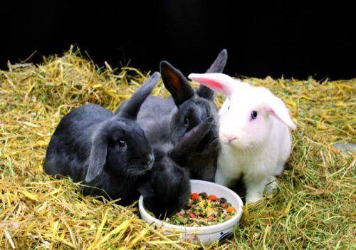 Hasen sind in Schruns zu Opfern einer grausamen Tierquälerei durch ein jugendliches Trio geworden. Symbol/Tierschutzheim Dornbirn