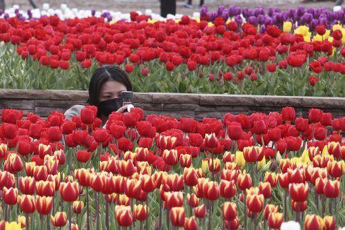In einem Park im südkoreanischen Goyang fotografiert eine Frau das bunte Tulpenmeer. AP