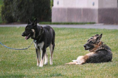 """Major (l.) bekommt """"First Dog""""-Verhaltenstraining für das Weiße Haus. AFP"""