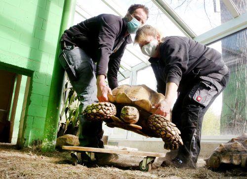 Schildkrötenmännchen Helmuth wird von den Tierpflegern Kevin Schulze Döring und Martina Ernst auf ein Rollbrett gehoben. Dadurch kann sich das Tier leichter bewegen. APA/DPA