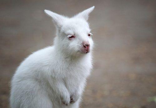 Albino-Wallabys sind sehr selten, aber mit ihrem weißen Fell sehr süß. Reuters