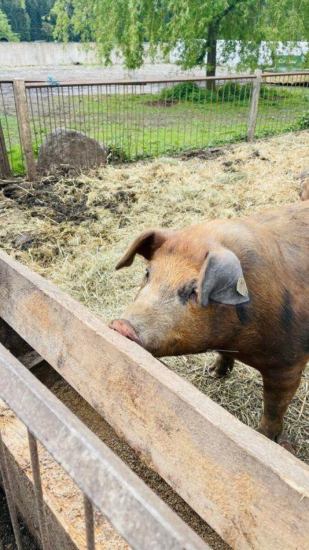 Am Zangerlhof in Rankweil fühlen sich die Schweine sauwohl.