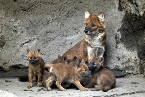 Asiatische Wildhunde sind nur noch in wenigen Regionen beheimatet. AP