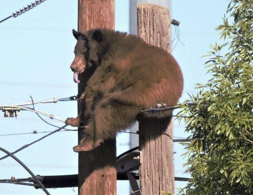 Der Bär kletterte nach einiger Zeit aus freien Stücken wieder herunter. AP