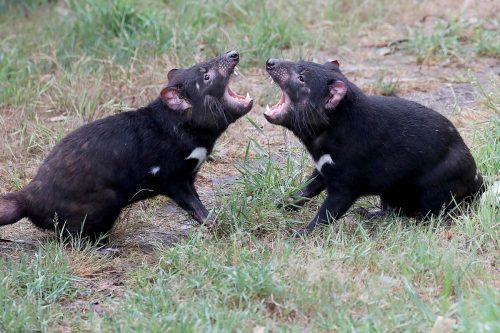 Es gibt Nachwuchs bei den Tasmanischen Teufeln auf dem australischen Festland. afp