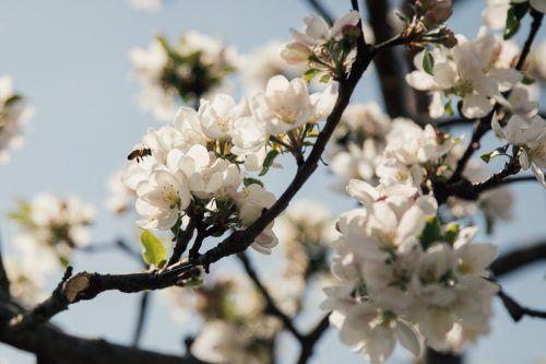 Obstbäume mit ihren üppigen Blüten sind ein Paradies für Wildbienen.