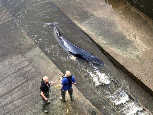 Retter befreien einen Wal aus einer Themse-Schleuse in London. Wieso sich das Tier dorthin verirrt hat, ist unklar.DAVID KORSAKS @dkfitldn/Reuters