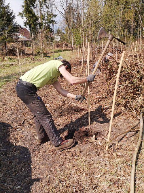 Über 1000 Bäume und Sträucher wurden kürzlich im Auwald gesetzt. Porod