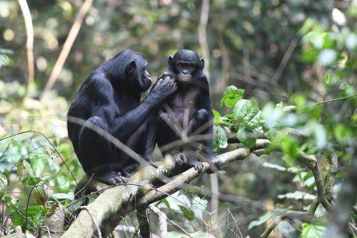 Alle afrikanischen Menschenaffen sind auf der Roten Liste der bedrohten Arten als gefährdet oder als vom Aussterben bedroht eingestuft. AFP
