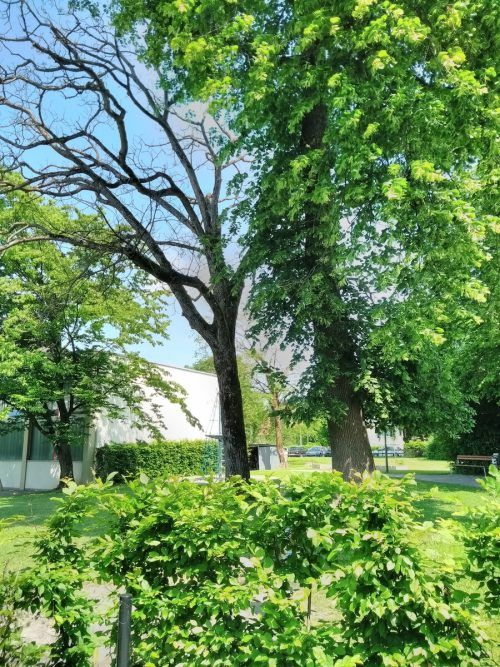 Der Nussbaum beim Kindergarten Hatlerstraße ist abgestorben, beklagen die Grünen.Alton