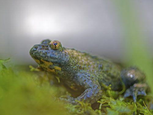 Die Gelbbauchunken im Schutzgebiet Bangs-Matschels profitieren von der Interventionspiste. die naturknipser.at