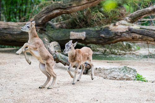 Die kleinen Mufflons springen und tollen ausgelassen durch ihr Gehege. Zoo Basel
