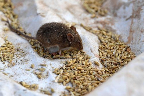Die Nager fressen sich in riesiger Zahl durch die Getreidevorräte der Bauern. afp