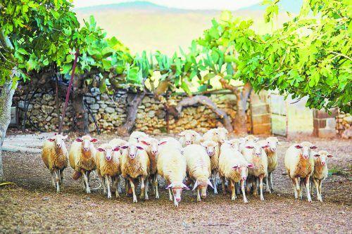 Die Schafe liefern die Milch für den beliebten sardischen Käse. Shutterstock