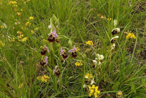 Die schützenswerte Hummel-Ragwurz wächst am Ehbachdamm. Maria Berg
