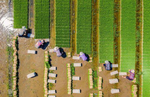 Eine Luftaufnahme zeigt Bauern, die in Haian in der ostchinesischen Provinz Jiangsu Reis anbauen. AFP