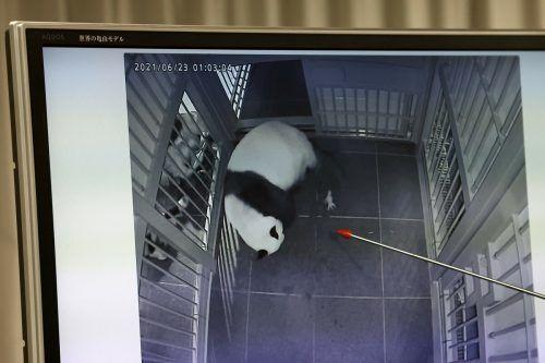 Es sind die ersten Panda-Zwillinge, die in Japans ältestem Zoo zur Welt kamen. AFP
