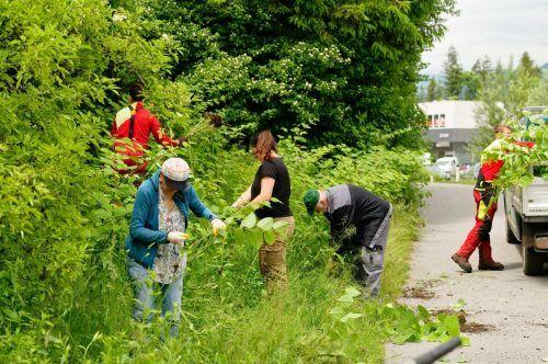 In Bludenz ging es kürzlich den Neophyten an den Kragen.Stadt