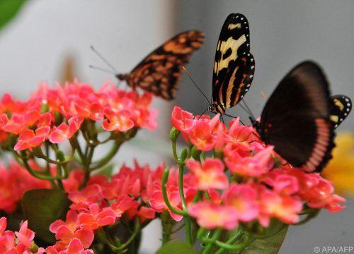 Kolumbien weist Forschern zufolge die größte Vielfalt an Schmetterlingsarten auf. AFP