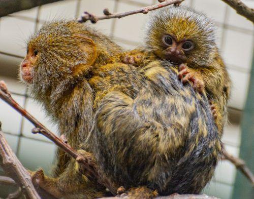 Zwergseidenäffchen wiegen bei der Geburt gerade einmal 15 Gramm. Zoo Dortmund
