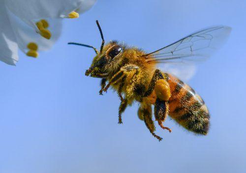 Den heimischen Honigbienen ging es heuer wegen des verregneten Frühlings gar nicht gut.dpa