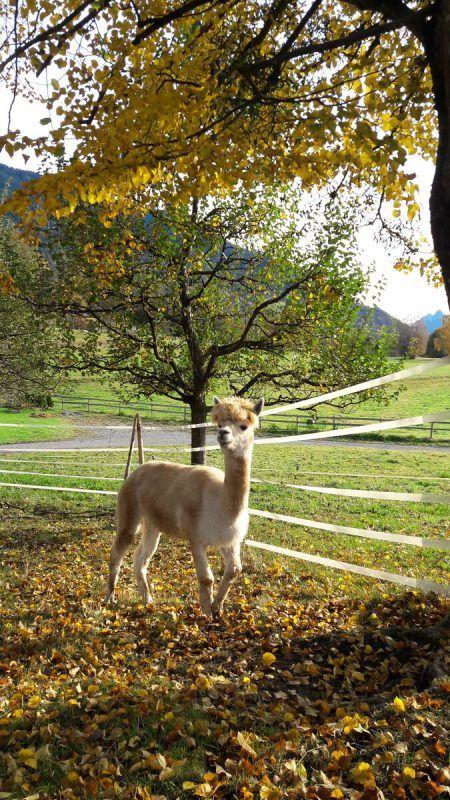Beim Ferienangebot für Kinder aus suchtbelasteten Familien sind auch vier Alpakas und ein Lama beteiligt. Knecht-Burghard