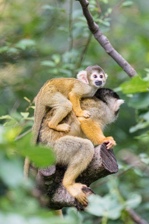 Die Totenkopfäffchen lassen sich von ihren Müttern herumtragen. Zoo Basel