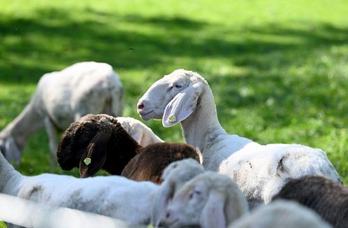 Friedlich grasende Schafe sind nicht mehr auf allen Alpen selbstverständlich. APA