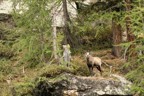 Gämse im Wald sind kein idealer Zustand - sagen die Experten. Diese Wildart gehört in steiles Gelände oberhalb der Baumgrenze. Reiner