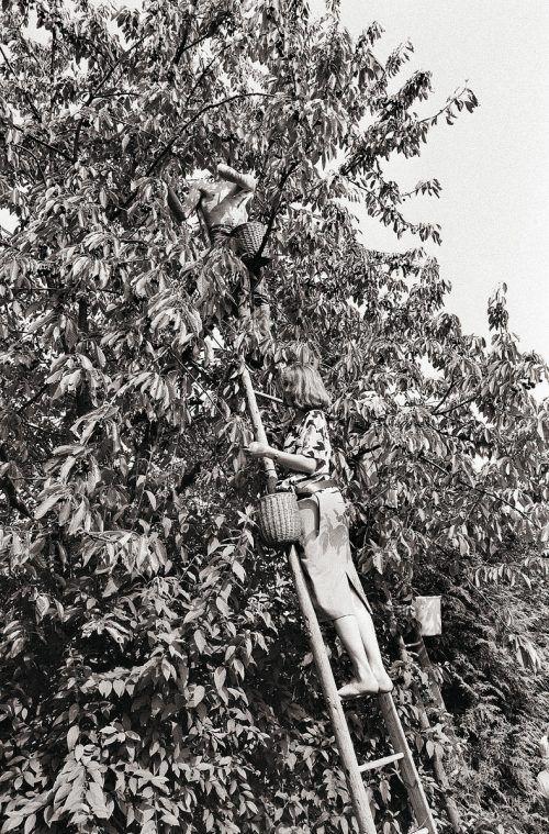 Gaißau, Kirschenernte, 1985