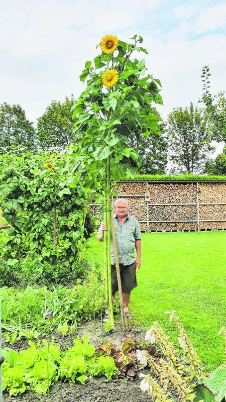 Helmut Oberhammer aus Fußach mit seiner aktuell höchsten Sonnenblume. Sie hat bereits gigantische Ausmaße von 4,05 Metern erreicht. Jörg Oberhammer