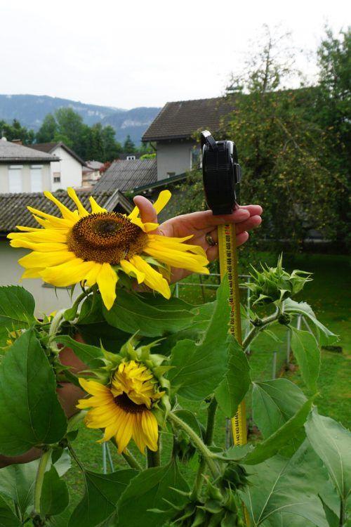 Hier kommt der Beweis: Die Sonnenblume aus Mäder misst knapp 4,70 Meter.