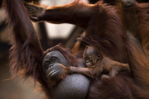 In den ersten Lebensmonaten klammert sich das Jungtier an der Mutter fest. AFP