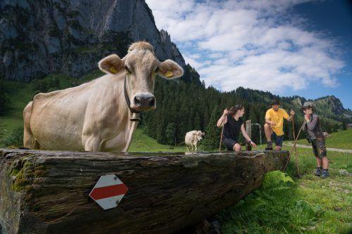Kühe gehören zum Idyll einer Alpe dazu. Doch die Milcherzeuger sind heutzutage viel krankheitsanfälliger geworden. L. Berchtold