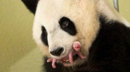 Seltener Nachwuchs: Pandabärin bekommt Zwillingsjunge. ZOO DE BEAUVAL/AP