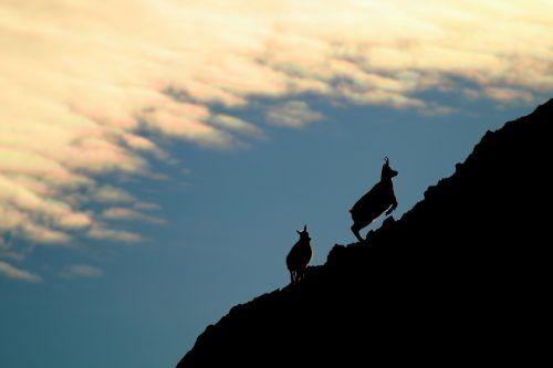 So kennen und lieben Freunde der Berge die Gämse: als behende Kletterer, denen kaum ein Hang zu steil ist. Reiner