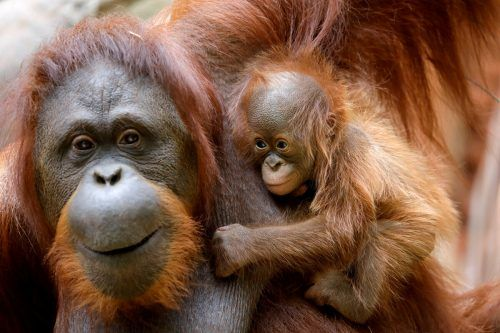 Der kleine Orang-Utan und seine Mama leben im Bioparc Fuengirola. Reuters