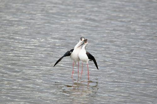 Der Stelzenläufer ist ein Wattvogel und macht hier bei seinem Durchzug Rast in der Fußacher Bucht. Hans Braun