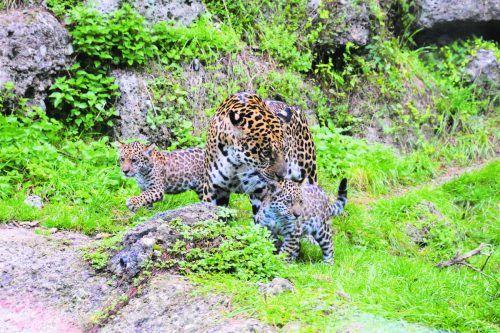Die kleinen Jaguarweibchen Maira und Morena erkunden die Außenanlage. Zoo Salzburg