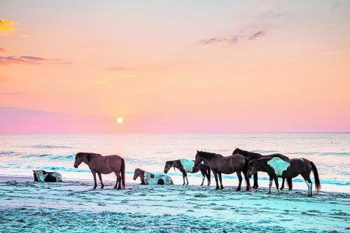 Ein idyllisches Bild: Auf Assateague findet man noch Pferde, die wild leben.