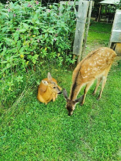 """""""Lisa"""" und """"Bambi"""" im Gehege."""