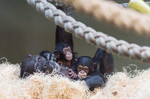 Die kleinen Schimpansen Sangala und Sabaki entwickeln sich prächtig. zoo Basel