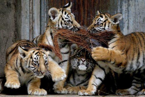 Die vier kleinen Tiger wurden erstmals der Öffentlichkeit präsentiert. AFP