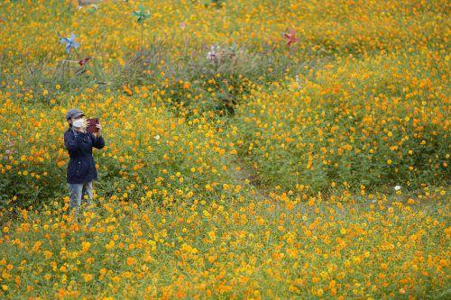 Eine Frau fotografiert die farbenfrohe Blumenpracht eines Feldes in Goyang, Südkorea. AP